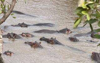 Hipopotamos en Kenia